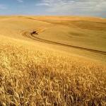 cibo: campi di grano