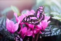 I racconti del melograno: la farfalla