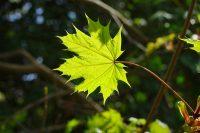 A passeggio nel bosco: la calda energia dell'Acero