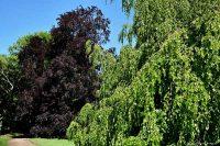 Le energie benefiche degli alberi: il faggio
