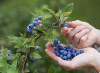 A Copenaghen la frutta si coglie dagli alberi