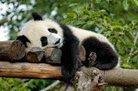 Il panda gigante è salvo
